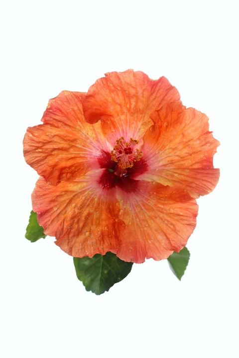 Orange Hibiscus - Apachula Photography