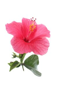 Pink Hibiscus Floating