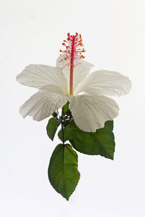 White Hibiscus - Apachula Photography