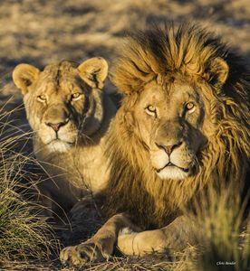 King of the Bushveld
