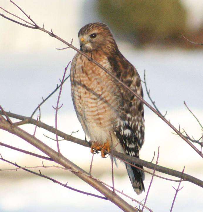 Falcon - BSparks