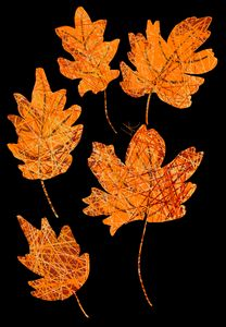 Oak and Maple Leaves