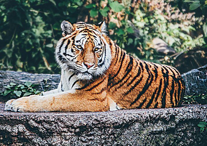 Tiger Resting Fine Art Print - Friends Always Giftshop