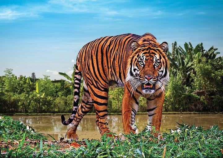 Tiger Staring Fine Art Print - Friends Always Giftshop