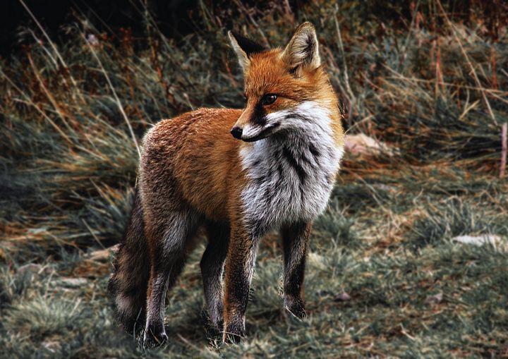 The Fox Fine Art Print - Friends Always Giftshop