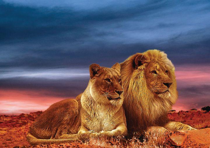 African Lions Fine Art Print - Friends Always Giftshop