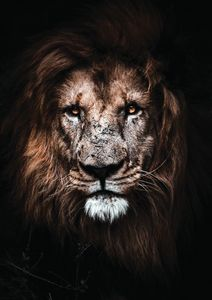 Lion Head Fine Art Print