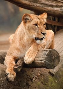 Lioness Resting On Log Fine Art Prin