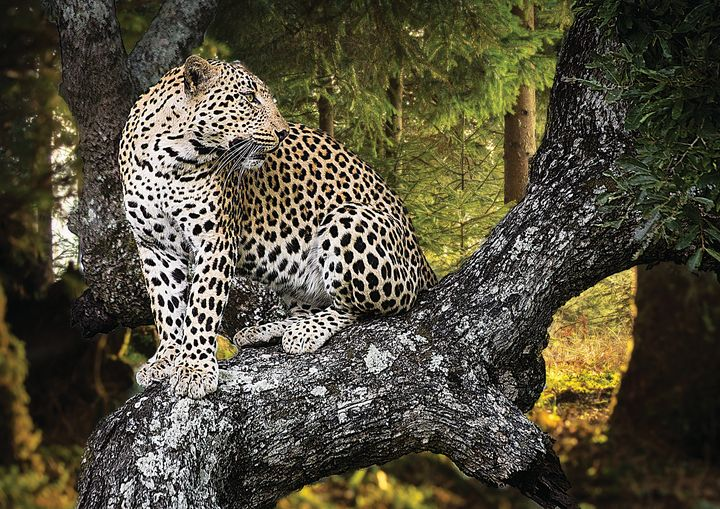 Jaguar In Tree Fine Art Print - Friends Always Giftshop