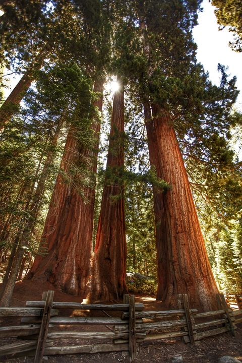 """The Great Redwoods"" - Joshua Levi Anderson"