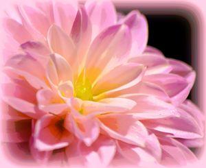 Pink Dahlia 1