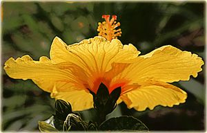 Misty Golden Hibiscus 1