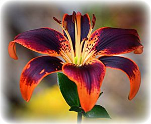 Orange & Purple Tiger Lily 1
