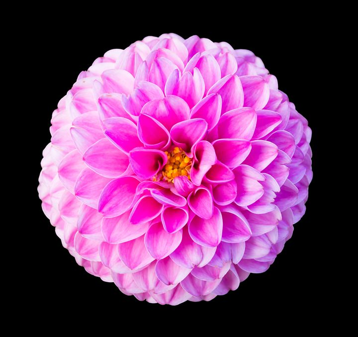 Pink dahlia flower - Christina Rahm Art