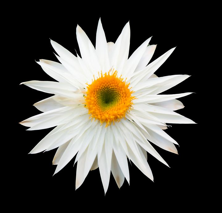 White everlasting flower - Christina Rahm Art