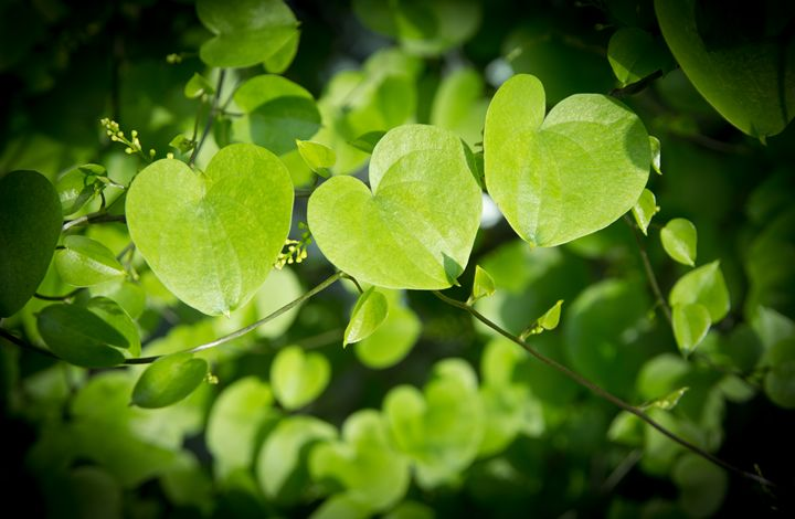 Heart shaped leaves closeup. - Christina Rahm Art