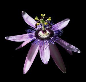 Passionvine flower closeup Passiflor - Christina Rahm Art