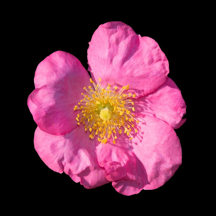 Wild rose - Christina Rahm Art