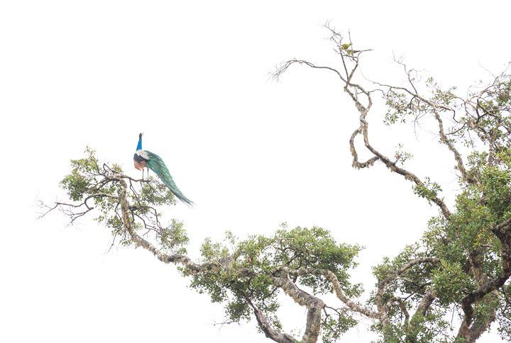 Peacock in tree - Christina Rahm Art