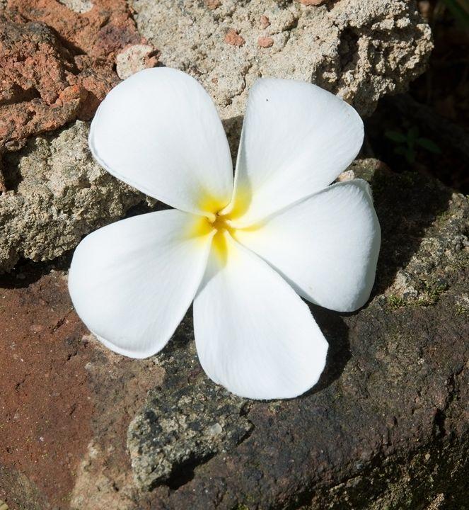 Temple Tree Flower - Christina Rahm Art