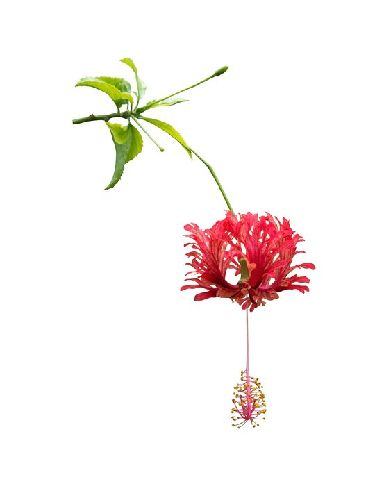 Red hibiscus exotic flowers isolated - Christina Rahm Art