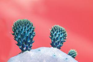 Blue cactus fruits