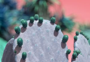 Green cactus fruits