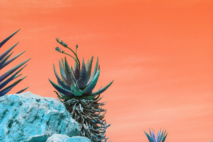 Agave against orange sky - Christina Rahm Art