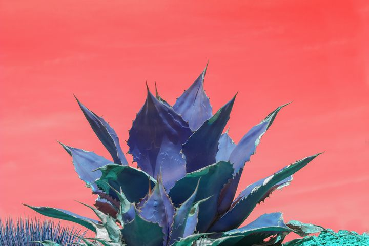 Blue agave - Christina Rahm Art
