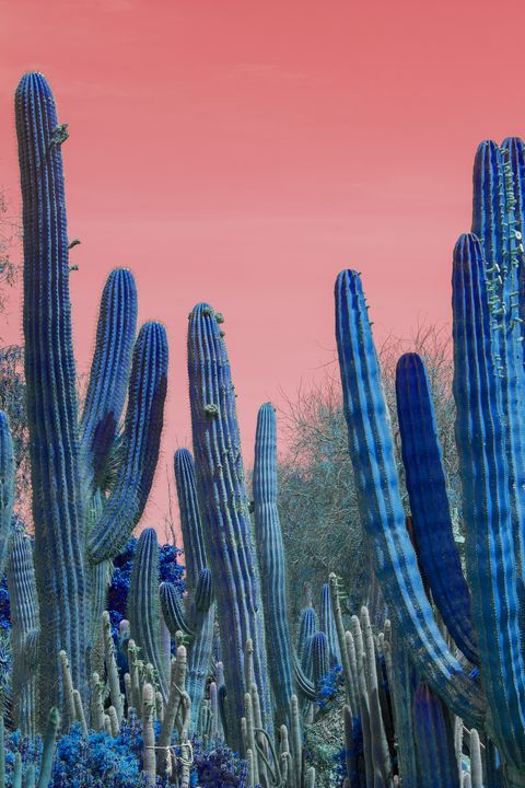 Blue cactus red sky - Christina Rahm Art