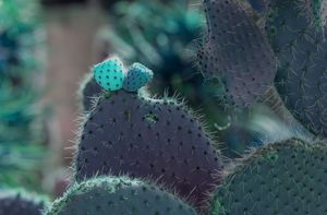 Glowing cactus fruits