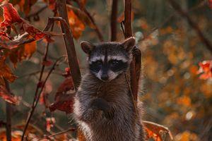 Raccoons - Billy Hopper