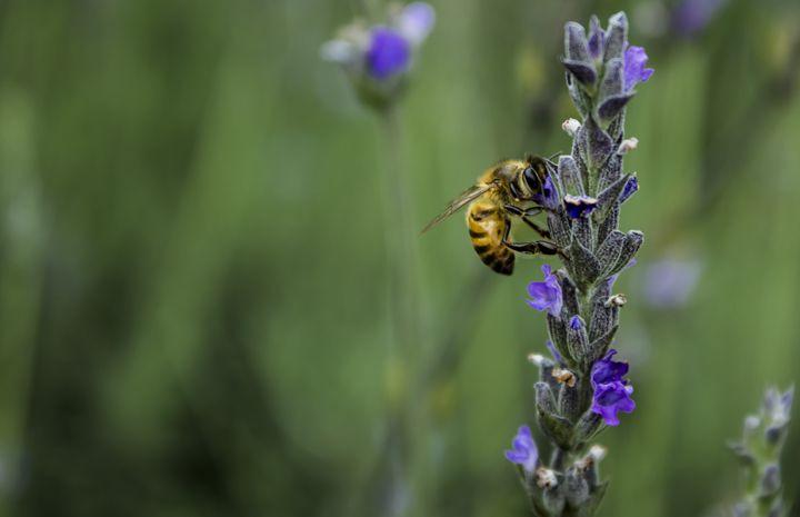 Lavender Bee - Skylarsound