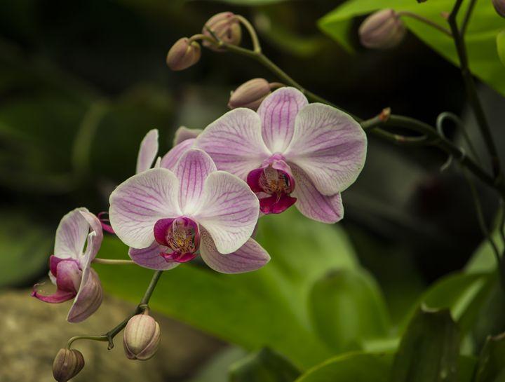 Pink Orchid - Skylarsound