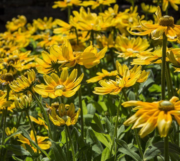 Yellow Daisies - Skylarsound