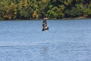 Baby Bald Eagle Fishing