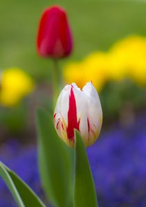 Red & White Tulip