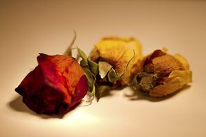 Dried Out Roses