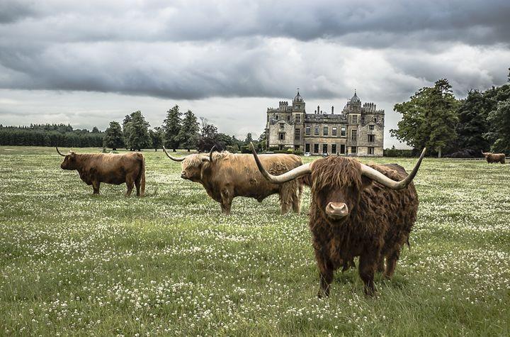 Highland Cattle 1 - Justin Short