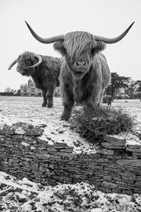 Highland Cattle 15