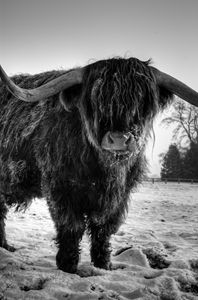 Highland Cattle 24