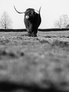 Highland Cattle 17