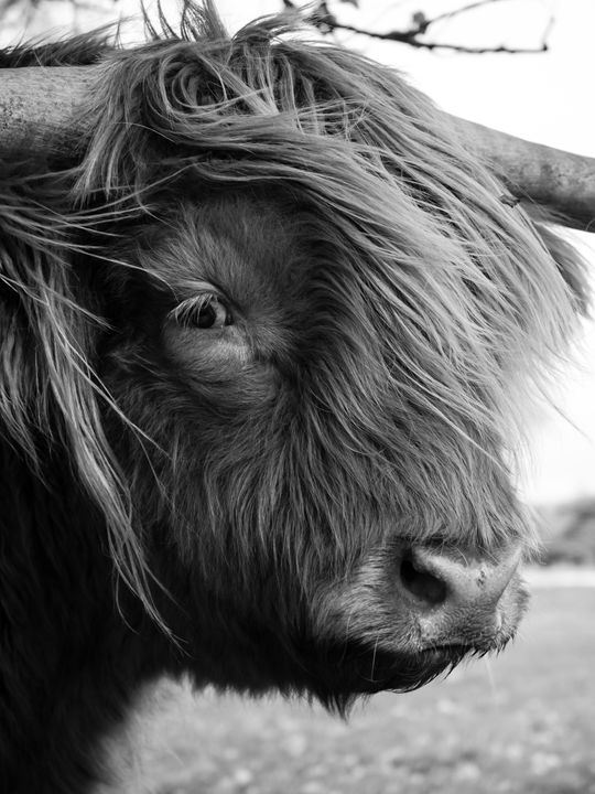 Highland Cattle 18 - Justin Short