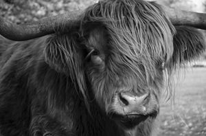 Highland Cattle 19