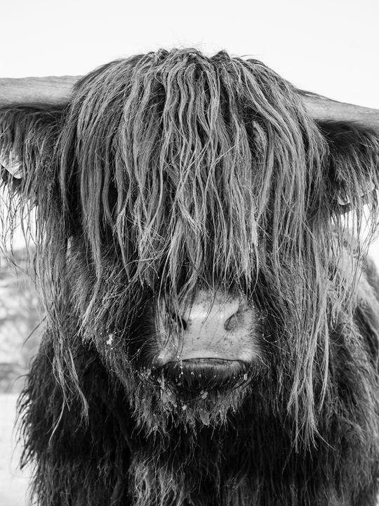 Highland Cattle 23 - Justin Short