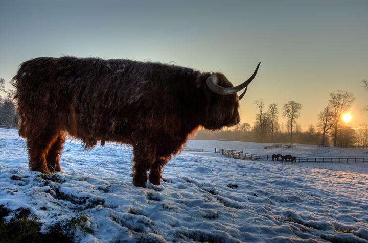 Highland Cattle 3 - Justin Short