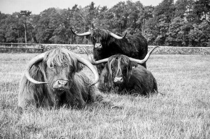 Highland Cattle 4 - Justin Short