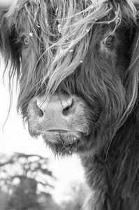 Highland Cattle 5 - Justin Short