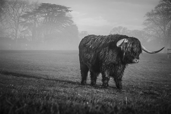 Highland Cattle 7 - Justin Short