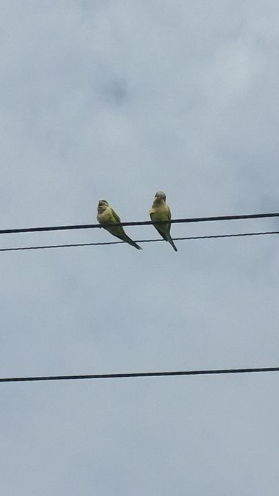 Parakeets of a wire - Rock Csilla